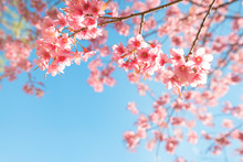 Beautiful Sakura Flower (cherr...