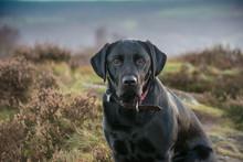 Poppy The Labrador Early Morni...