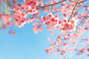 Naklejka Na szklane drzwi i okna Beautiful sakura flower (cherry blossom) in spring. sakura tree flower on blue sky.