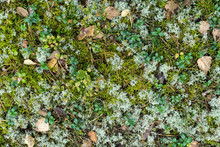 Forest Floor With Dry Birch Le...