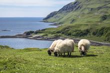 Sheep And Goat At The Bay Call...