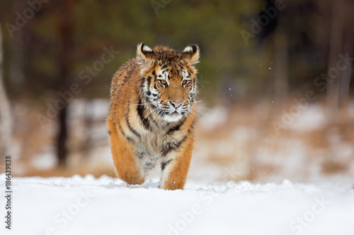 In de dag Tijger Siberian tiger (Panthera tigris tigris) also called Amur tiger.The tiger is reddish-rusty, or rusty-yellow in color, with narrow black transverse stripes.