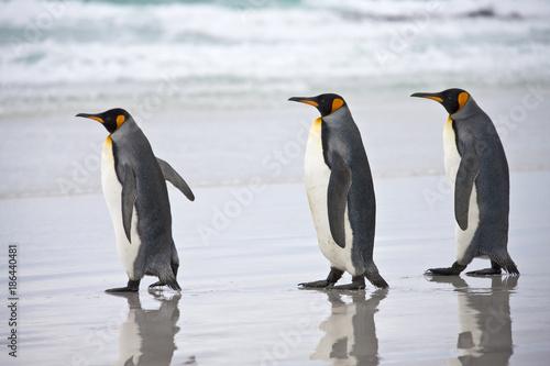 Papiers peints Pingouin King Penguins - Falkland Islands