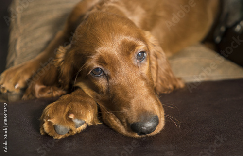 Fotografie, Obraz  Young Canine Irish Setter Rust Coat Laying Down