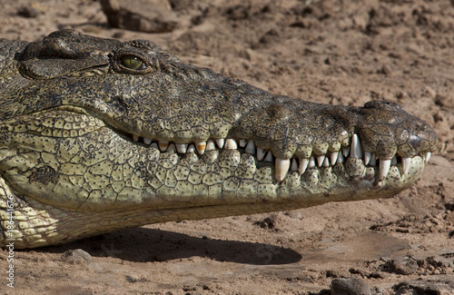 Nile Crocodile - Chobe River in Botswana