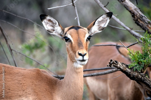Antelope 2015-10 Südafrika