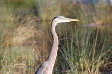 Great Blue Heron Portrait Profile With Tall Grass