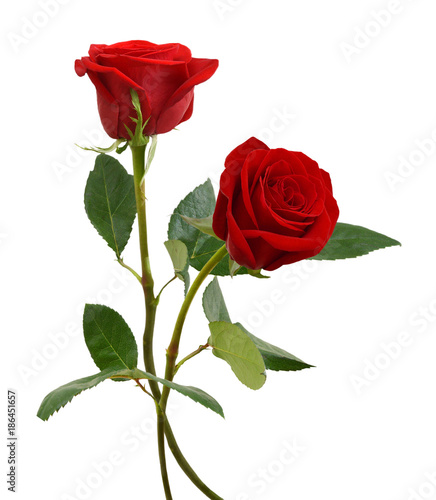 two  beautiful red rose flowers  isolated on white background