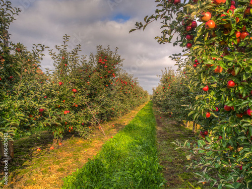 A fruit orchard and red,  apple