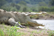 American Crocodile, Rio Tarcoles, Costa Rica