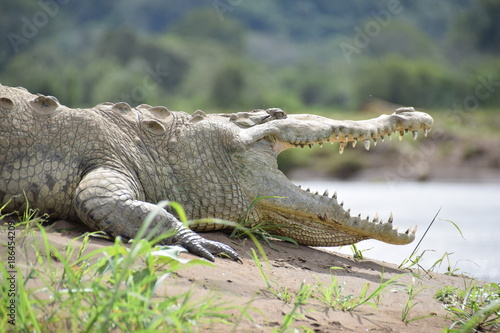 Obraz na plátně American Crocodile, Rio Tarcoles, Costa Rica