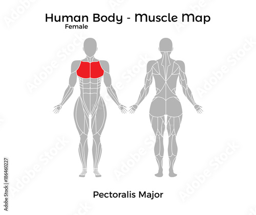 Fototapeta Female Human Body - Muscle map, Pectoralis Major. Vector Illustration - EPS10. obraz na płótnie