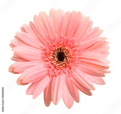 Poster Gerbera Pink gerber isolated on white background