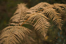 Autumn Dead Bracken