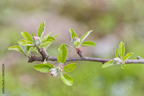 First spring buds on apple tree.