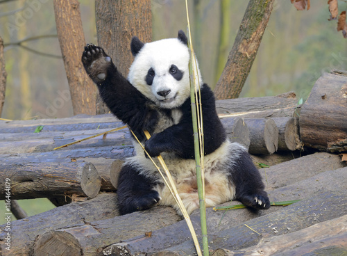 Photo Stands Panda Giant Panda near Chengdu, Sichuan Province, China
