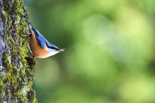 Nuthatch Perched On A Trunk