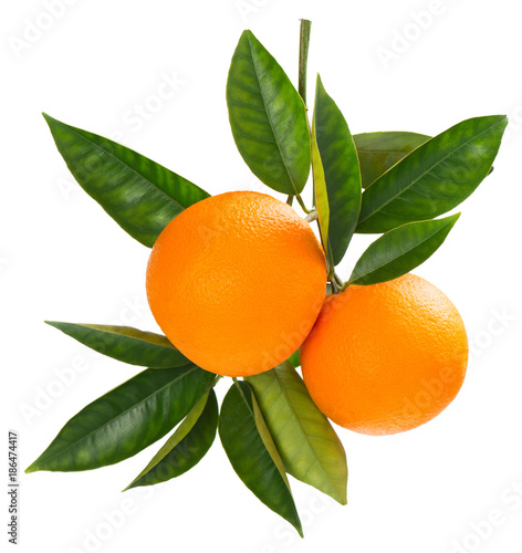 Twig of fresh ripe oranges.