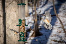 Titmouse Approaching Feeder