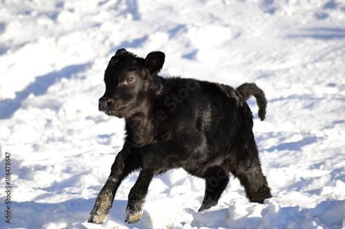 Платно  Angus Cow Calf