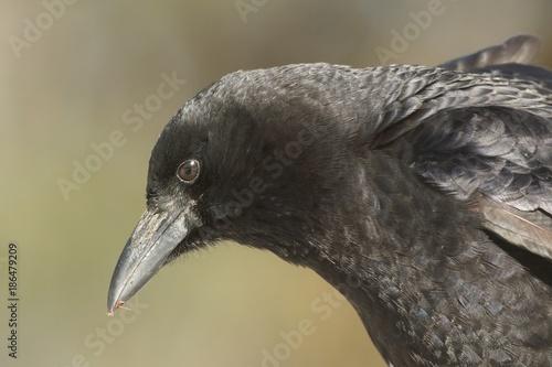 Sticker - American Crow (Corvus brachyrhynchos)