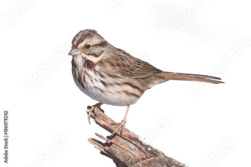 Photo  Sparrow On White