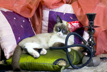 Cross Eyed Cat In A Turkish Cap Smokes A Hookah Lying On Cushions