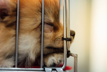 Puppy Pomeranian Breed In Cage...