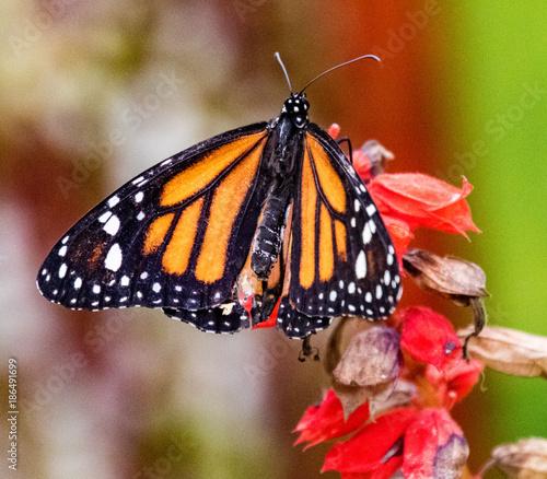 Monarch Butterfly sitting on a flower Tapéta, Fotótapéta