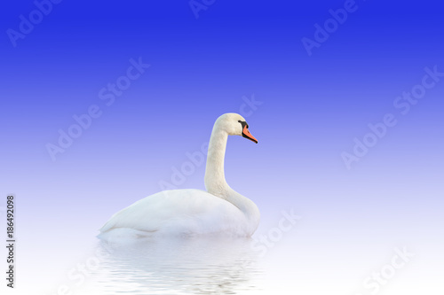 Poster Cygne Swan on white-blue surface.