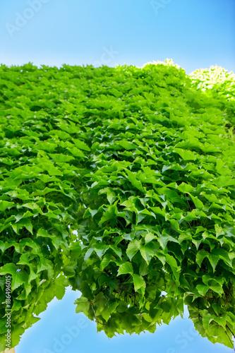 Fotografie, Obraz  Poison ivy and blue sky