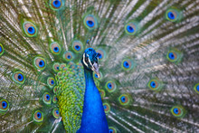 Peacock With Colorful Spread F...