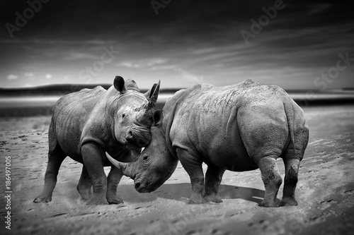 Fotobehang Neushoorn Two rhinoceros fighting head to head monochrome image