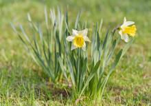 Jonquil In Meadow. Spring Flow...