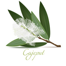 Cajeput Flower And Leaves. Rea...