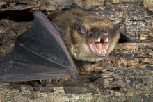 Big Brown Bat (Eptesicus Fuscu...