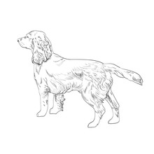 Cocker Spaniel Hand Drawn Sketch Isolated On White Background. Side View Of English Cocker Spaniel Dog.