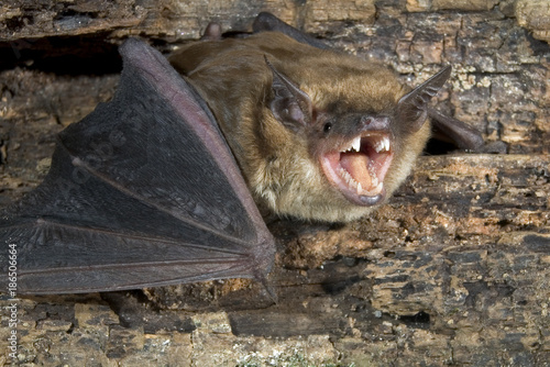 Big brown bat (Eptesicus fuscus) portrait, Atlanta, Georgia, USA Canvas Print
