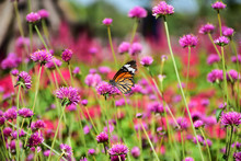 Butterfly Eat Sweet Nectar Fro...