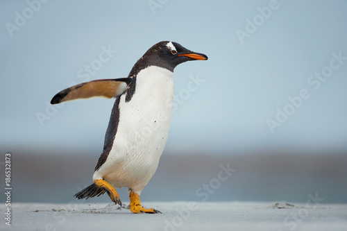 Poster Antarctic Gentoo penguin walking on a sandy beach with the wings up, Falkland Islands.