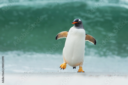 In de dag Pinguin Gentoo penguin coming ashore through big waves, Falkland Islands.