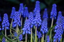 Grape Hyacinth Muscari Armenia...