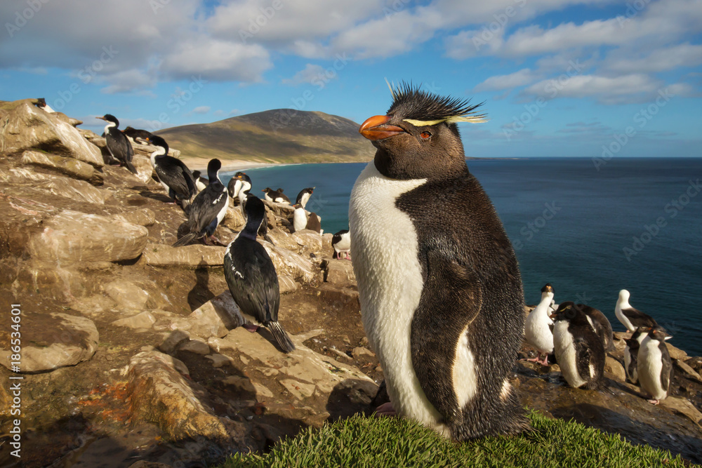 Close up of southern rockhopper penguin standing on the grass, Falkland Islands.