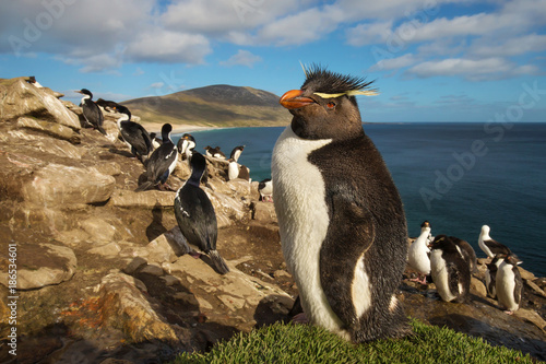 Fototapeta premium Zamyka up południowa rockhopper pingwinu pozycja na trawie, Falklandy.