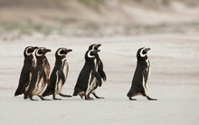 Magellanic Penguins Heading Ou...
