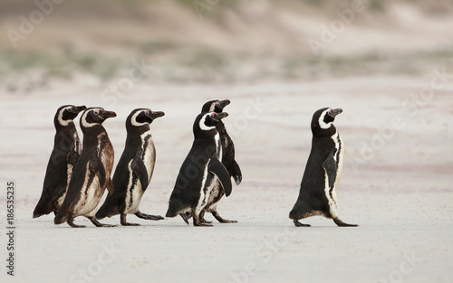 Ingelijste posters Pinguin Magellanic penguins heading out to sea for fishing on a sandy beach, Falkland Islands.