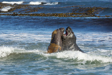 Southern Elephant Seals Fighti...