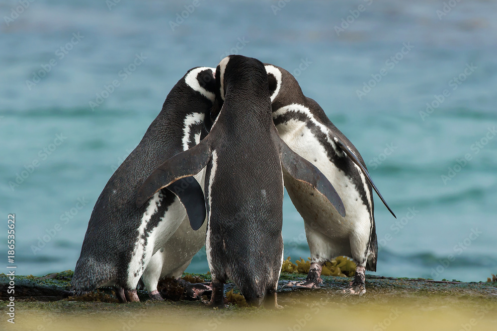 Group of Magellanic penguins gather together on the rocky coast, Falkland Islands.
