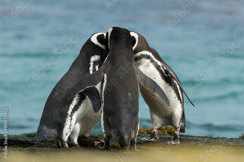Deurstickers Pinguin Group of Magellanic penguins gather together on the rocky coast, Falkland Islands.