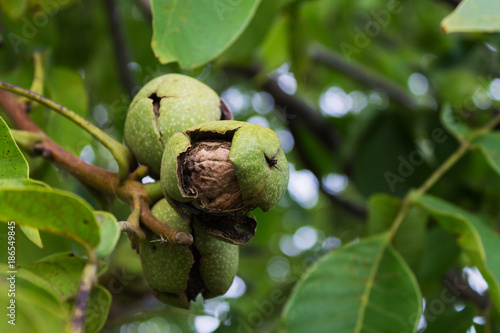 Photo  walnut ripens on a tree. Nut on a branch with leaves